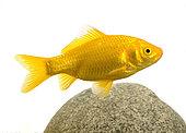 Common yellow goldfish (Carassius auratus)