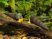 Tylomelania snails (Tylomelania sp. 'Piure Orange') in freshwater aquarium