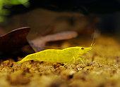 Neocaridina heteropoda 'Yellow' in aquarium
