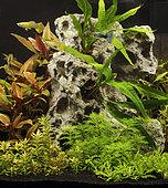 Guppy (Poecilia reticulata) in aquarium planted with Alternanthera reineckii, Rotala sp, Myriophyllum mattogrossense, Pogostemon helferi