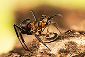 Macro Focus Stacking picture of Red Wood Ant (Formica rufa) in Devon in England, UK