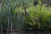 European roe deer (Carolus capreolus) looking attentively from the bank of a pond, Schleswig-Holstein, Germany, Europe