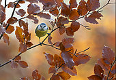 Blue tit (Cyanistes caeruleus) perched amongst coloured leaves, England