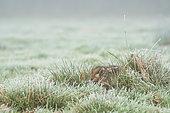 Lièvre d'Europe (Lepus europaeus) couché dans l'herbe couverte de givre, Angleterre