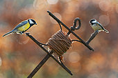Great Tit (Parus major) and coal tit (Parus ater) perched on a leveling line tool