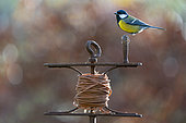 Great Tit (Parus major) perched on a leveling line tool, England