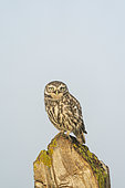 Little owl (Athena noctua) perched on a fence post, England