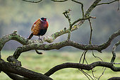 Pheasant (Phasianus colchicus) cock perched in a tree, England