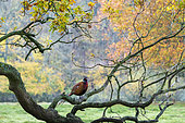 Pheasant (Phasianus colchicus) perched on a branch, England