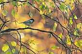 Coal tit (Periparus ater) perched amongst autumn leaves, England