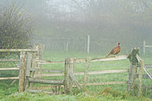 Pheasant (Phasianus colchicus) perched on a fence, England