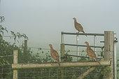 Faisan de Colchide (Phasianus colchicus) femelles sur une barrière, Angleterre
