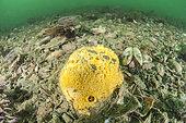 Yellow Boring Sponge (Cliona celata) beta form (encrusting), in the port of Sète, Hérault, Occitania, France