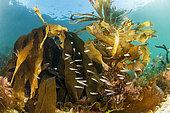 Gobies nageurs (Gobiusculus flavescens), sous des laminaires à bulbe (Saccorhiza polyschides), au large de Saint-Malo (Bretagne, France)