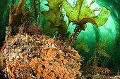 Furbelow (Saccorhiza polyschides), off the coast of Saint-Malo, Brittany, France