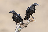 Common Raven (Corvus corax hispanus), two individual perched on a dead tree, Basilicata, Italy