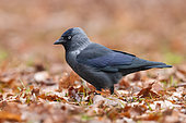 Western Jackdaw (Coloeus monedula), side view of an adult standing on the ground, Mazovian Voivodeship, Poland