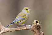 European Greenfinch (Carduelis chloris), side view of an adult male in winter plumage perched on a branch, Podlachia, Poland