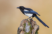 Eurasian Magpie (Pica pica), side view of an adult perched on an old trunk, Campania, Italy