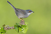 Sardinian Warbler (Sylvia melanocephala), side view of an adult female perched on an European Ivy branch, Campania, Italy