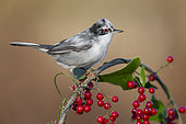 Sardinian Warbler (Sylvia melanocephala), side view of an adult male perched on a Common Smilax with berries, Campania, Italy