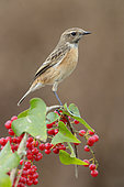 European Stonechat (Saxicola rubicola), side view of an adult female perched on a Common Smilax, Campania, Italy