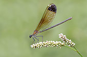 Copper Demoiselle (Calopteryx haemorrhoidalis), side view of an adult female perched on a plant, Campania, Italy