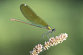 Banded Demoiselle (Calopteryx splendens), side view of an adult female perched on a plant, Campania, Italy