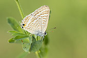 Long-tailed Blue (Lampides boeticus), side view of an adult perched on a plant, Campania, Italy