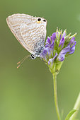 Long-tailed Blue (Lampides boeticus), side view of an adult perched on an Alfalfa (Medicago sativa) flower, Campania, Italy