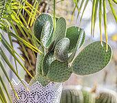 Cactus (Opuntia microdasys) 'Caress' cultivé en pot en intérieur : cette oponce n'a pas d'épines.