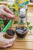 Potting a privet cutting in a biodegradable cup and soaking it in a rooting aid solution based on humic acid (replaces the traditional cutting hormone).