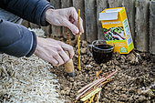 Setting of dry forsythia cuttings in winter, previously soaked in a cutting hormone substitute based on humic acid.