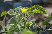 Freshly blooming cucumber flower on the plant in the vegetable garden.