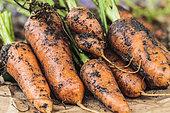 Carrot 'Oxhella', improvement of the famous 'Chantenay' carrot