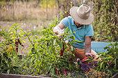 Man harvesting bull horn peppers in summer.