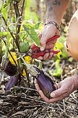 Eggplant harvest, in summer.