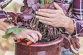 Prune a heuchera in a pot to make it younger.