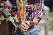 Cutting the heuchera in steps. 2: Remove the oldest leaves from the cutting.