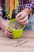 Mise en place de boutures de groseillier dans un pot empli de sable, en hiver.