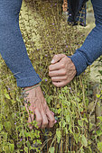 Man pulling down an aromatic plant (Calament, Calamintha sp) in autumn.