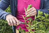 Man preparing Japanese Spindle (Euonymus japonicus) cuttings.
