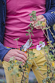 Man pruning a shrubby mauve (Lavatera bicolor), in summer.