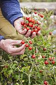 Man harvesting 'Matt's Wild Cherry' cherry tomatoes, improvement of Solanum pimpinellifolium
