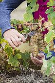 Man harvesting Chasselas de Moissac grapes in October.