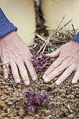 Transplanting of a lettuce 'Purple oak leaf'.