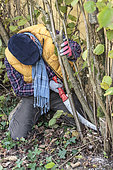 Man pruning a hazelnut tree: removal of the oldest stems to let air in and make space for the youngest.