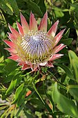 King Protea (Protea cynaroides), flower, flowering, bloom, Harold Porter National Botanical Garden, Betty's Bay, South Africa, Africa
