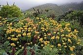Pincushion protea, (Protea Leucospermum cordifolium), flower, flowering, silver tree plant, Harold Porter Botanical Garden, Betty's Bay, South Africa, Africa