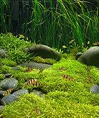 Fiveband barbs in aquarium planted Utricularia graminifolia, Pogostemon helferi, Vallisneria nana
